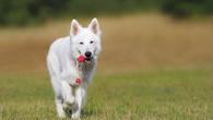 ORLICKOÚSTECKO/PARDUBICKO – Během uplynulého víkendu operační důstojník na lince 158 přijal celkem pět oznámení o volně pobíhajících psech. Hned vpátek odpoledne vobci Dolní Libchavy viděl muž volně pobíhat hnědého psa