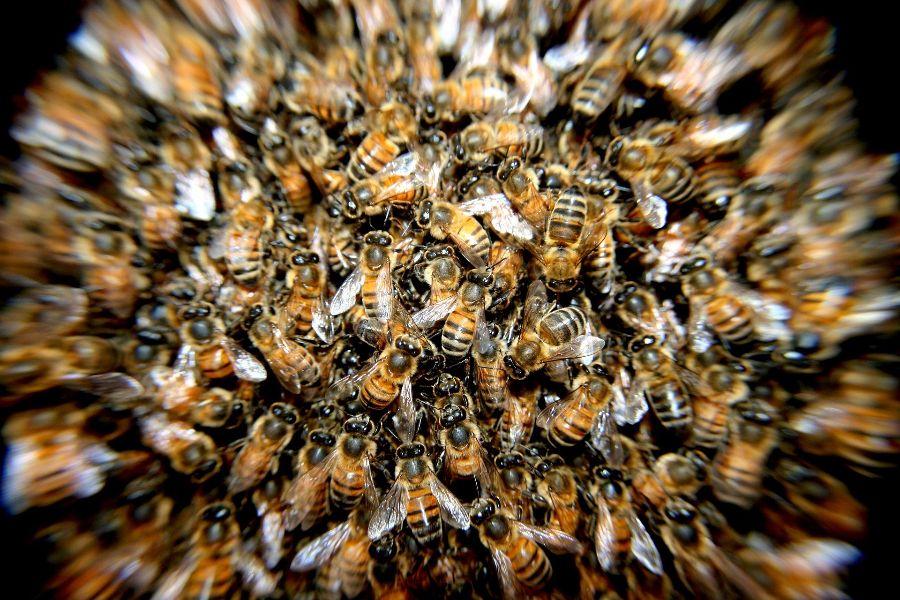 včely_včela