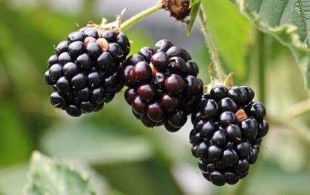 """Nejsladšími plody pozdního léta a začínajícího podzimu jsou bezesporu ostružiny. Navíc nás zásobují vitaminy i minerály, posilují imunitu a jsou i ozdobou dezertů. Obsahují zejména vitamin C, organické kyseliny, minerály<a class=""""moretag"""" href=""""http://www.orlickytydenik.cz/podorlicka-kucharka-ostruziny-3/"""">...celý článek</a>"""
