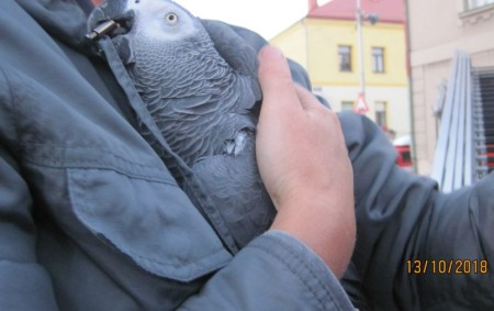 """NOVÉ MĚSTO N. M. – Profesionální hasiči Dobrušky a místní dobrovolní hasiči ve spolupráci s majitelkou odchytili v sobotu 13. října odpoledne papouška Žako, který se nacházel na stromě na<a class=""""moretag"""" href=""""http://www.orlickytydenik.cz/hasici-z-dobrusky-zachranovali-papouska/"""">...celý článek</a>"""
