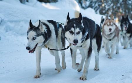 ORLICKÉ HORY - V okolí Deštného v Orlických horách stále probíhá již třiadvacátý ročník extrémního závodu psích spřežení Šediváčkův long. Podívejte se na fotografie Jiřího Plíštila.