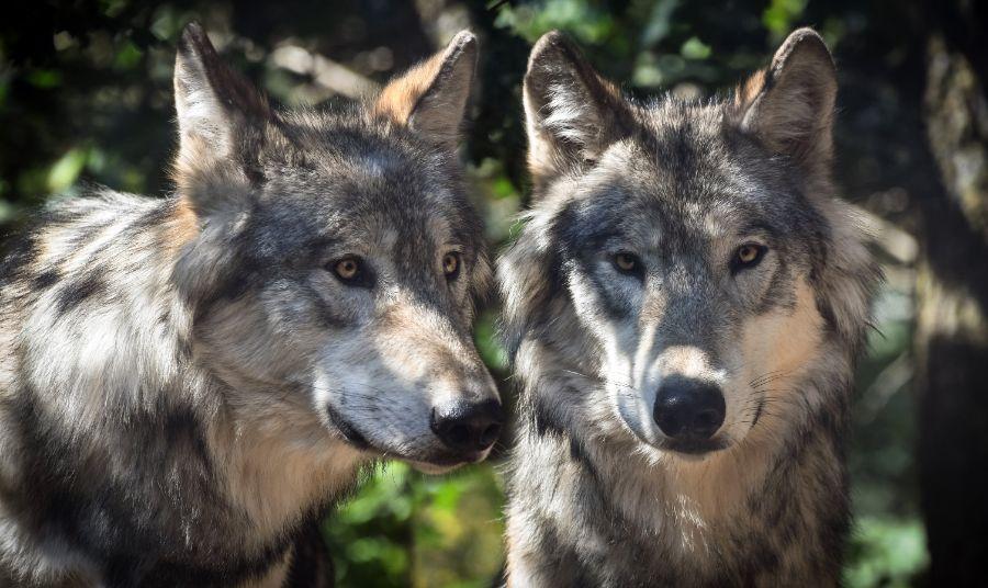 wolf-2984865