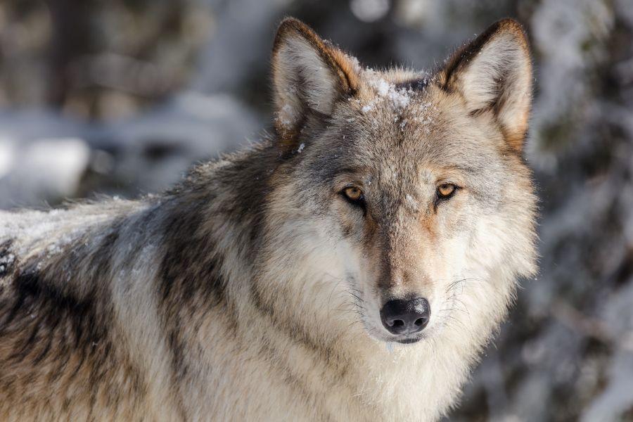 wolf-3818343