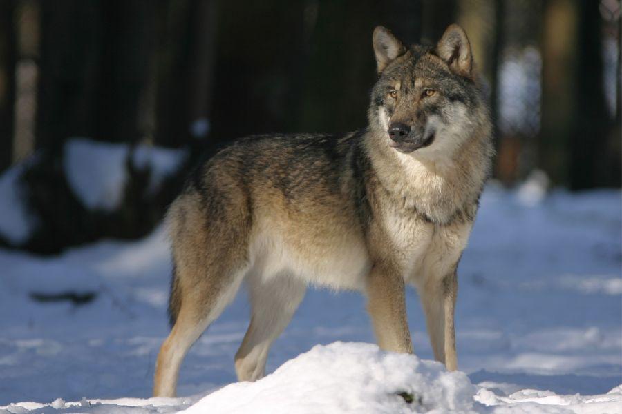 wolf-725388