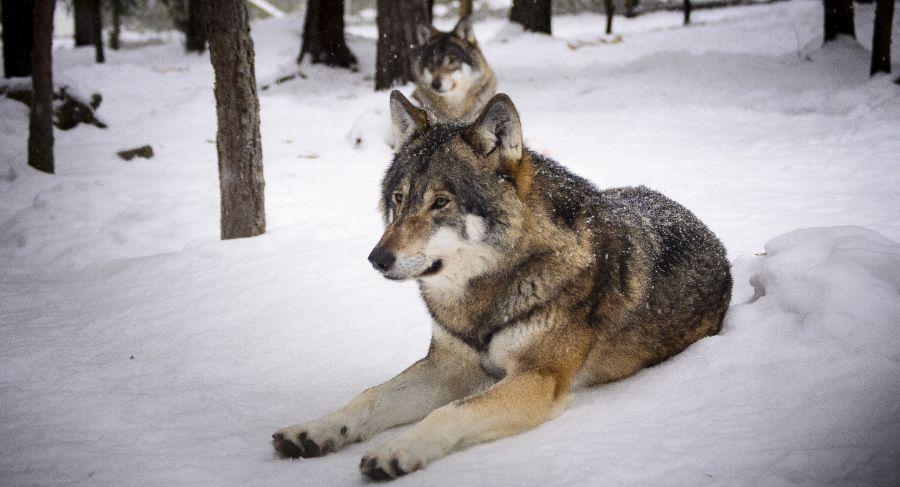 vlk_příroda_zvíře