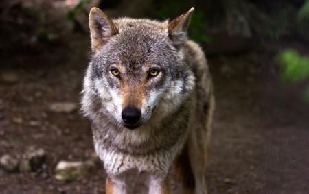 """BOŽANOV/REGION –V centru obce Božanov došlo v průběhu úterní noci k opakovanému útoku vlků na ovce. Chovateli Vlastimilu Vejrostovi vlci zadávili poslední tři ovce, které zbývaly z celého původního stáda.<a class=""""moretag"""" href=""""http://www.orlickytydenik.cz/chovatel-konci-po-opakovanych-utocich-vlku/"""">...celý článek</a>"""